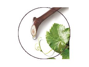 ingredient Viniferine